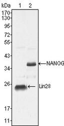NBP1-47427 - NANOG