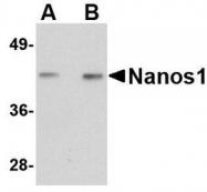NBP1-76366 - NANOS1