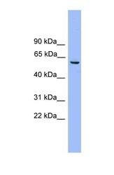 NBP1-57024 - NAP1L2 / BPX