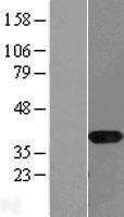 NBL1-13477 - NAPG Lysate