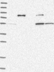 NBP1-87243 - NAPRT1