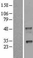 NBL1-13479 - NAPSIN1 Lysate