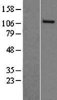 NBL1-13483 - NASP Lysate