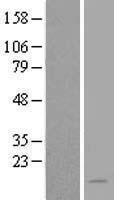 NBL1-13493 - NAT8L Lysate