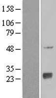 NBL1-13494 - NAT9 Lysate