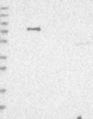 NBP1-84082 - NAV1 / Neuron navigator 1