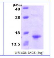 NBC1-26378 - XCL1 / Lymphotactin