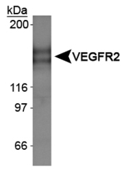 NBL1-06701 - VEGF Receptor 2 Lysate