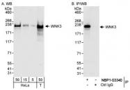NBP1-03340 - WNK3