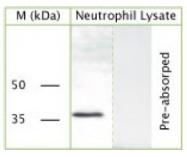 NBP1-03512 - GAPDH