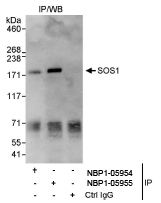 NBP1-05954 - SOS1