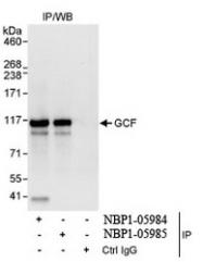 NBP1-05985 - GCF / TCF9