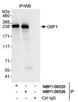 NBP1-06525 - GBF1