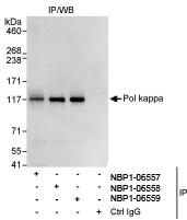 NBP1-06558 - DNA polymerase kappa