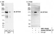 NBP1-06564 - ZBTB40