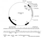 NBP1-06713 - OLLAS Epitope Tag (SGFANELGPRLMGK)