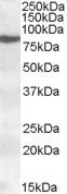 NBP1-06976 - ALOX15 / LOG15