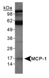 NBP1-07035 - MCP1 / CCL2