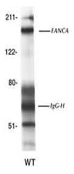 NBP1-18973 - FANCA