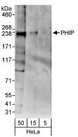NBP1-19095 - WDR11 / PHIP