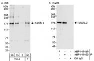 NBP1-19150 - RASAL2 / NGAP