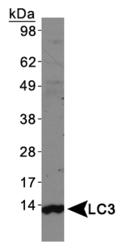 NBP1-19167 - LC3