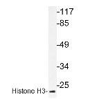 NBP1-19401 - Histone H3