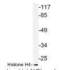 NBP1-19404 - Histone H4