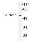NBP1-19551 - CYP1A1