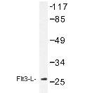 NBP1-19575 - Flt3 ligand