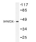 NBP1-19649 - WWOX / FOR