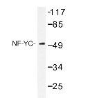 NBP1-19650 - NFYC