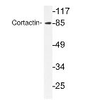 NBP1-19881 - Cortactin