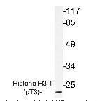 NBP1-19929 - Histone H3.1