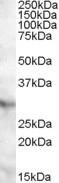 NBP1-20877 - APOA1BP