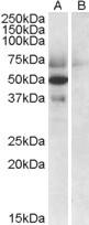 NBP1-20883 - Apolipoprotein L4 (Apo L4)