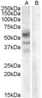 NBP1-20886 - Arylsulfatase D