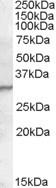 NBP1-20962 - PGLYRP1 / PGRPS