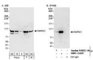 NBP1-21387 - NARG1