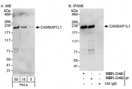 NBP1-21402 - CAMSAP1L1