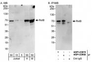 NBP1-22980 - RELB / I-Rel