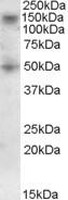 NBP1-23027 - RNF139