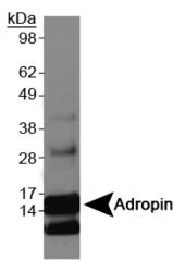 NBP1-26387 - Adropin