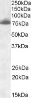 NBP1-26400 - Delta-like protein 1