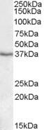 NBP1-26401 - PON1