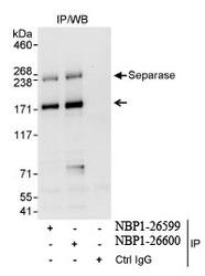 NBP1-26599 - Separin / ESPL1