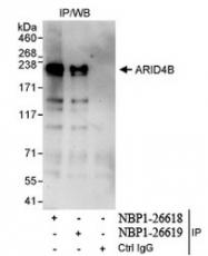 NBP1-26619 - ARID4B / BRCAA1