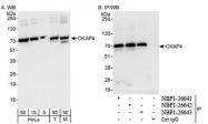 NBP1-26642 - CKAP4