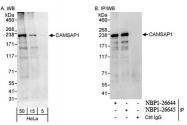 NBP1-26644 - CAMSAP1