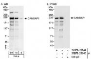 NBP1-26645 - CAMSAP1